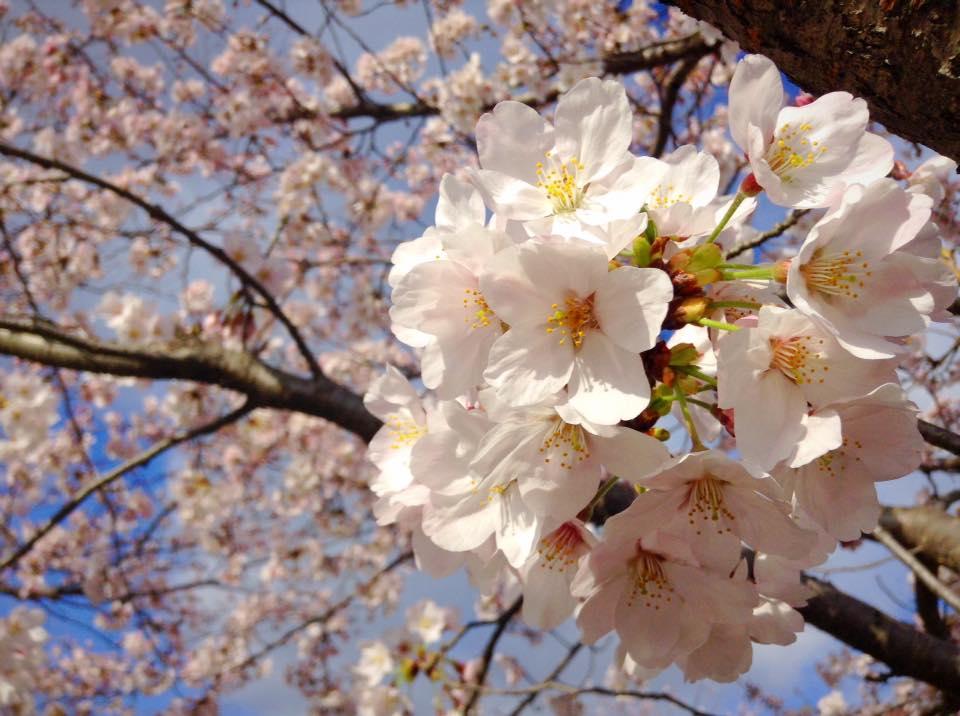 桜樹館の観桜会のイメージ